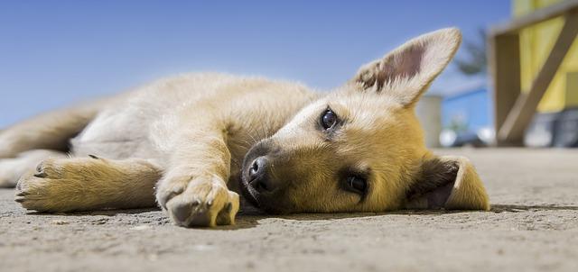 ležící štěně