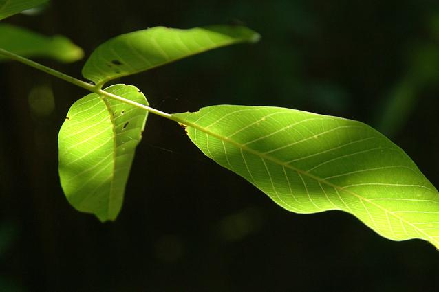 zelené listy ořešáku